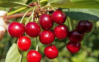 Лучшие сорта саженцев вишни