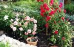 Выращивание роз в открытом грунте в Сибири