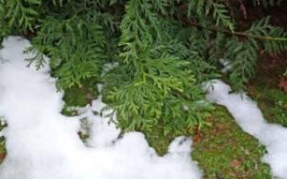 Подготовка туи к зиме в средней полосе