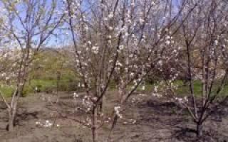 Как пересадить саженец вишни?