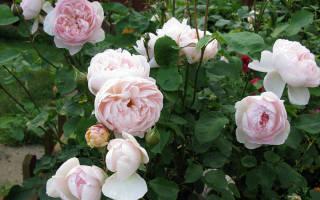 Хранение саженцев роз до посадки весной