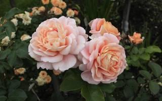 Посадка роз в Сибири осенью