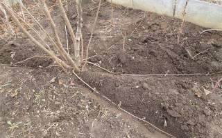 Фундук выращивание и уход в Сибири