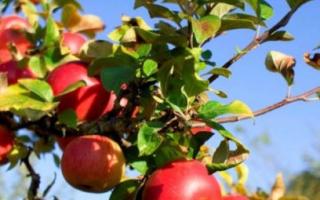 Высадка саженцев яблони осенью