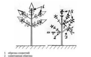 Обрезка гортензии на зиму в Сибири