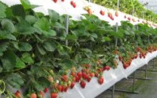 Выращивание клубники в Сибири в теплице