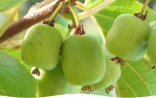 Как выращивать актинидию на дачном участке?