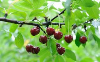 Подкормка вишни осенью в Сибири