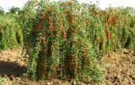 Выращивание годжи в Сибири