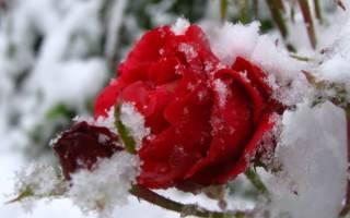Укрывание роз на зиму в Сибири