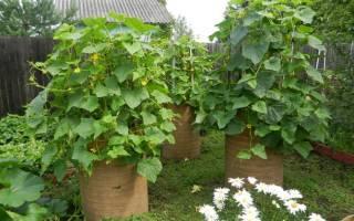 Как вырастить огурцы в бочке на даче?