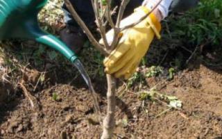 Когда высаживать саженцы вишни?