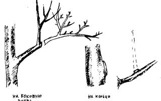 Обрезка яблони осенью в Сибири