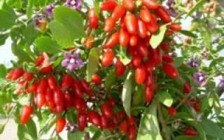 Как вырастить ягоды годжи на даче?