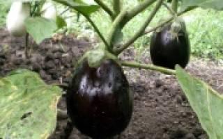 Как вырастить баклажаны на даче?