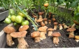 Как вырастить маслята на даче?