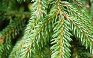 Как посадить саженец елки?
