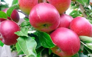 Глубина посадки саженцев яблони