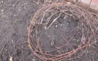 Укрытие клематисов на зиму в средней полосе