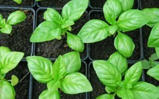 Как вырастить базилик на даче?
