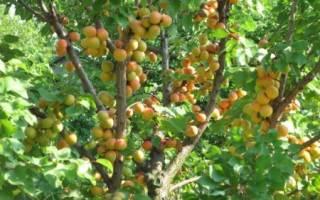 Кустовой абрикос для Сибири