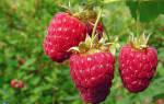 Подготовка малины к зиме осенью в Сибири