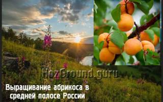 Как вырастить абрикос в средней полосе России?