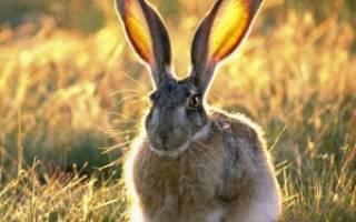 Как уберечь саженцы от зайцев?