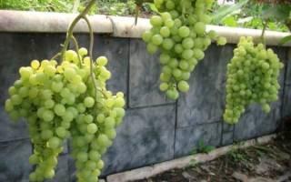 Морозостойкие сорта винограда для Сибири