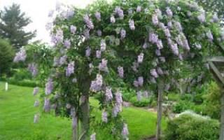 Глициния в Сибири выращивание и уход
