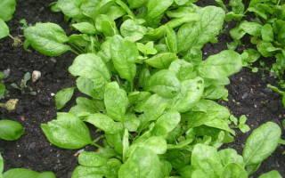Как вырастить шпинат на даче?