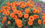 Хризантемы зимостойкие для средней полосы