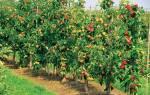 Удобрения для саженцев яблонь