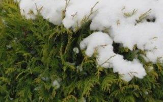 Подготовка туи к зиме в Сибири
