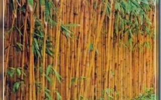 Как вырастить бамбук на даче?