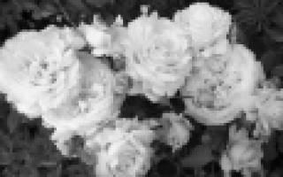 Сорта неприхотливых роз для средней полосы России