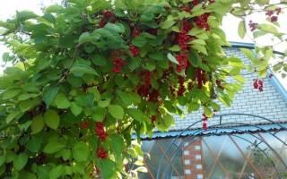 Лимонник китайский выращивание и уход в Сибири