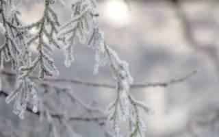 Как укрыть саженцы туи на зиму?
