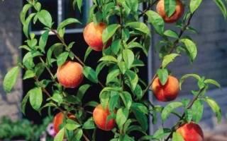 Как вырастить саженец персика?