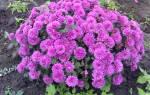 Зимостойкие хризантемы для Сибири