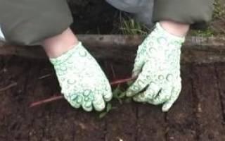 Как выращивать бруснику на даче?