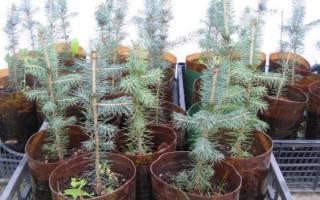 Как вырастить саженец елки?