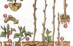 Саженцы малины из черенков