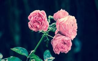 Утепление розы на зиму в средней полосе