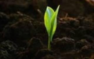 Как вырастить саженец березы?