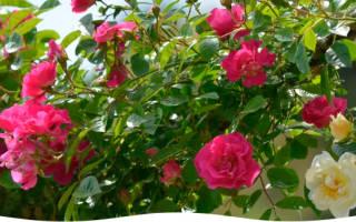 Как закрыть на зиму розу на даче?