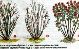 Обрезка роз к зиме в средней полосе