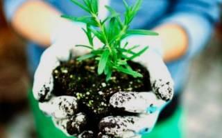 Как вырастить розмарин на даче?