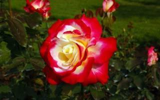 Можно ли сажать розы осенью на даче?