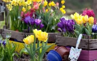 Когда садить тюльпаны в Сибири весной?